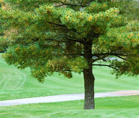 michigan tree a to z the usa michigan state tree