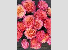 Premium Scented Garden Rose Free Spirit Light Pink Hearts