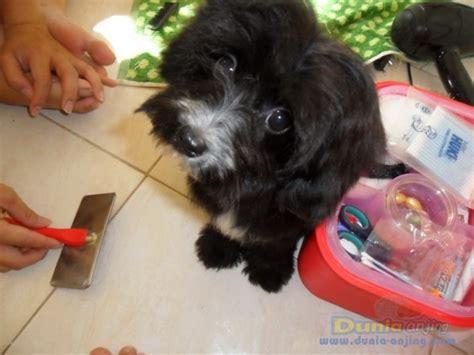 pomeranian vs maltese dunia anjing jual anjing poodle maltepo maltese vs poodle