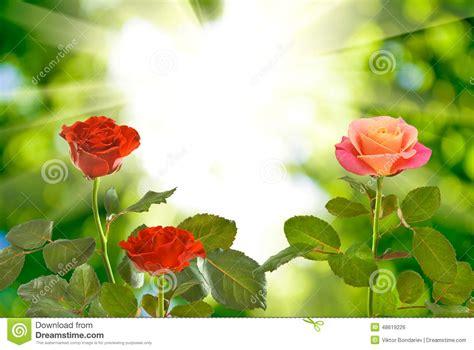 imagenes de rosas naturales hermosas rosas hermosas rojas en fondo borroso foto de archivo