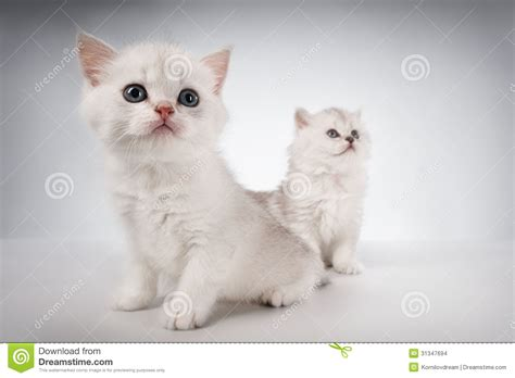 white pussy cat persian cats stock images image 31347694