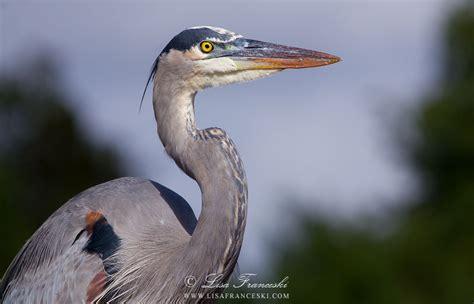 Lisa Franceski Wildlife Photography Juvenile Great Blue Blue Heron Nh 2