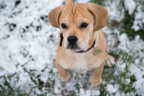 best indoor dogs 10 best indoor breeds