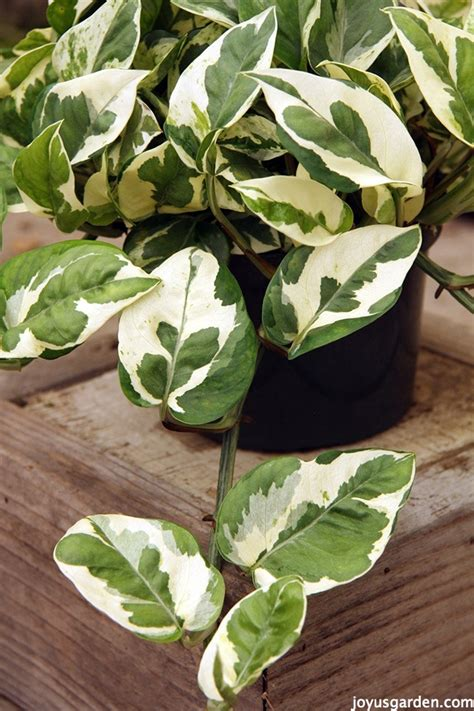 Indoor Trees Low Light by 5 Things To Love About Pothos