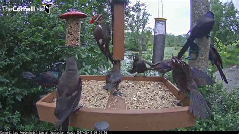 pileated woodpecker fends off grackles at cornell feeders