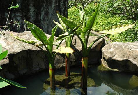 Tanaman Hias Pisang Oval tanaman air hias yang cantik untuk pemanis kolam ikan