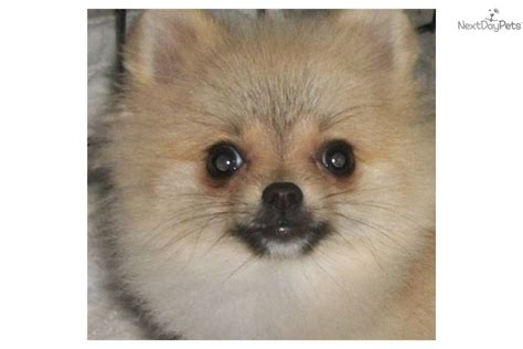 pomeranian puppies for sale in ny area pomeranian puppies for sale island ny breeds picture