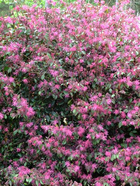 spring blooming shrubs in my garden in north carolina heart of a southern woman