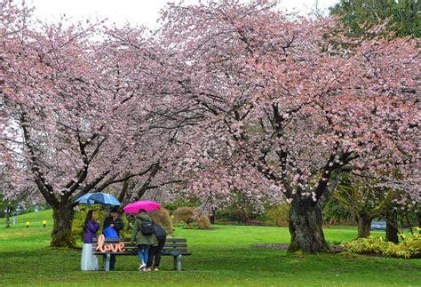 cherry blossom photo   day vancouver blog