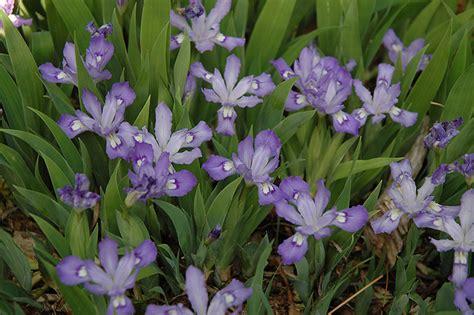 dwarf crested iris iris cristata  indianapolis carmel