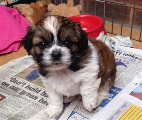 shih tzu x chihuahua for sale shihtzu x chihuahua puppy for sale stoke on trent staffordshire pets4homes
