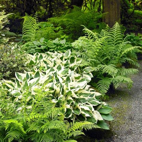 ferns and hosta juzt grow pinterest