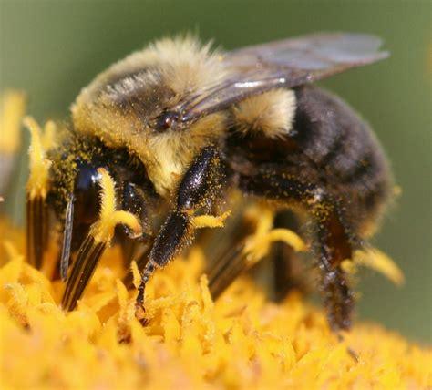 wimbledon bees bumble bee