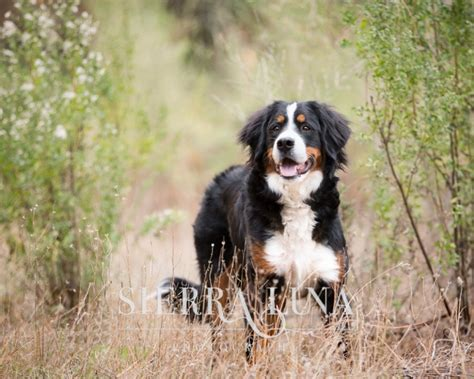 free puppies in sacramento a day in the woods with shasta the bernese mountain puppy 187 photography