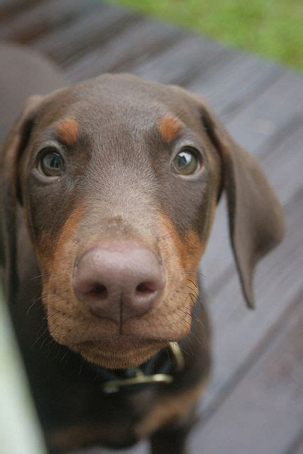 brown doberman puppies chocolate doberman