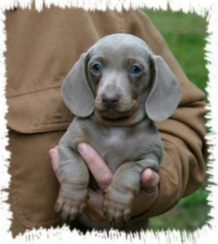 haired dachshund puppies nc 26 best we dachshunds images on dachshund dachshunds and