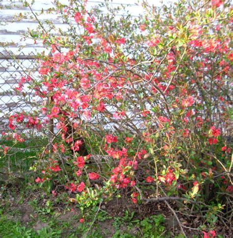 quince bush free photos quince flowers