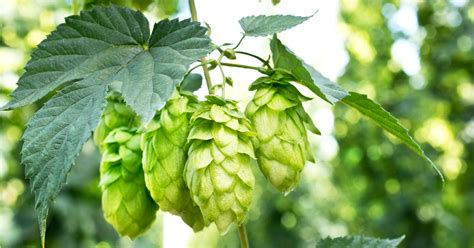 8 Pots by How To Brew With Fresh Hops Great Fermentations