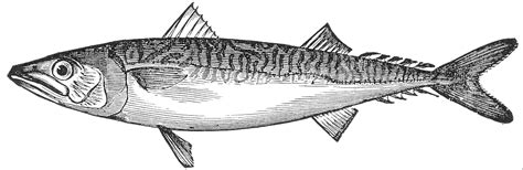 king mackerel coloring pages file scomber scombrus illustration png wikimedia commons