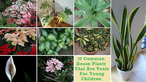 poisonous house plants 10 common house plants that are toxic for young children