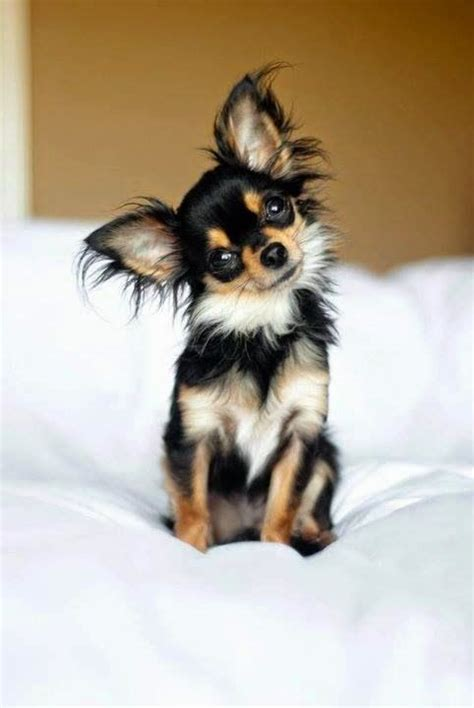 Hair Chihuahua Shedding by Best 25 Best Small Breeds Ideas On Best