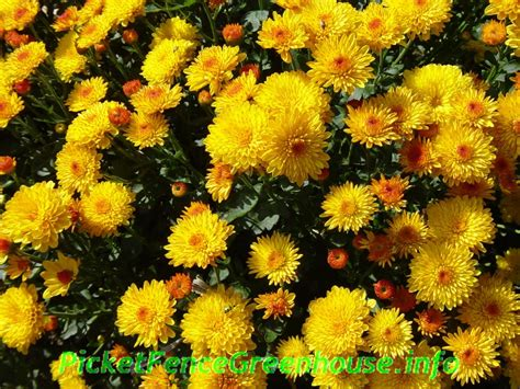 how to grow mums planting fertilizing pinching