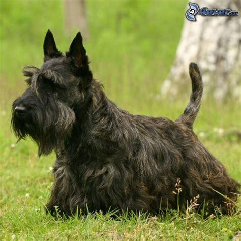 types of scottie grooming styles image gallery terrier escoces