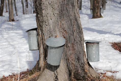 backyard maple sugaring backyard maple syrup 28 images the homegrown string