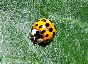 what color are ladybugs temperate climate permaculture beneficial insects ladybugs