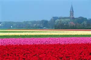Flowers Of Netherlands - flower fields of the netherlands netherlands tourism
