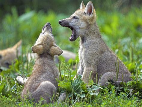 On Wolf wolf the animals kingdom