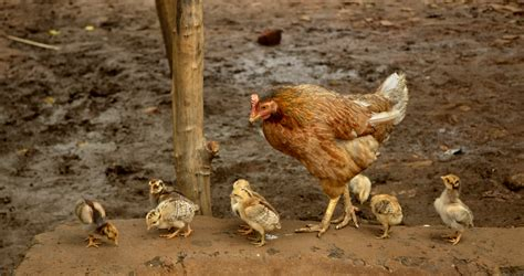 when to use a heat l for chickens file hen with raisen district mp india jpg