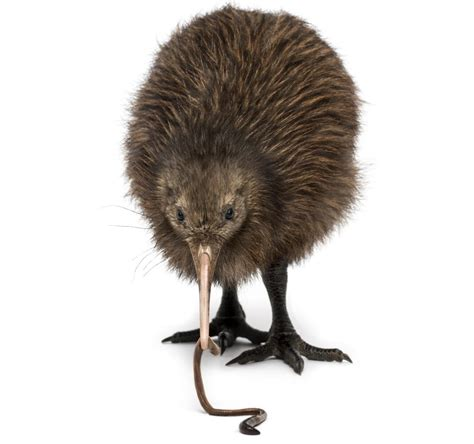 what does bird facts about the surprisingly flightless kiwi birds