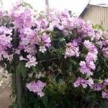 Tanaman Hias Pisang Songgo Langit 1000 images about tanaman hias bunga on