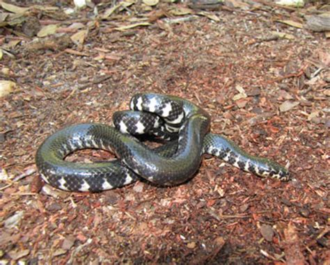 Lepaparazzi News Update Ricci And In Black Snake Moon by Photo Of Anerythristic Bellied Mudsnake Showing