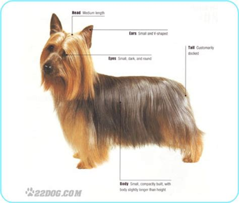 silky terrier and yorkie difference what is the difference between a yorkie and a silky design bild