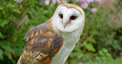 owls  north america  birds delight