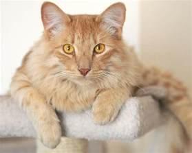 el gato atigrado naranja car 225 cter caracter 237 sticas