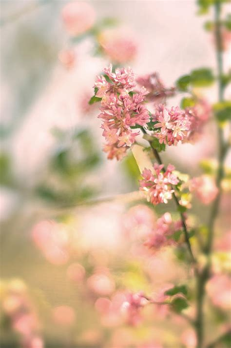 pink forsythia blossom photograph by magdalena warmuz dent