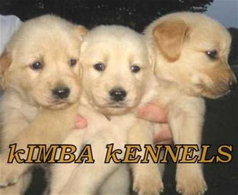 golden retriever for sale in bangalore golden retriever puppies for sale bangalore india free breeds picture