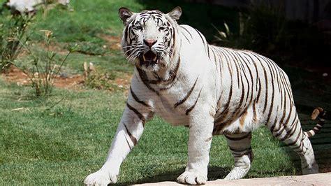 imagenes google tigres tigres de bengala matan a un tigre blanco por un descuido