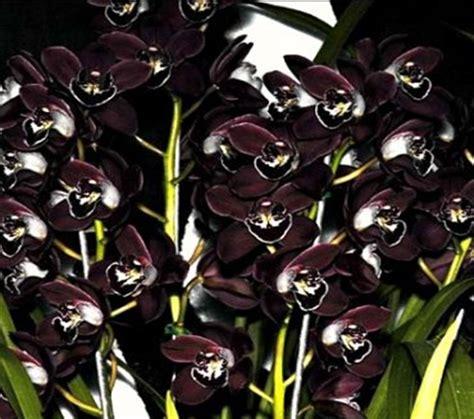 Jual Bibit Anggrek Hitam Papua bunga anggrek hitam bunga anggrek
