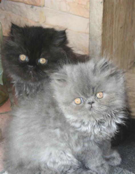 gatti persiani gratis disponibili cuccioli di persiano neri e gattini