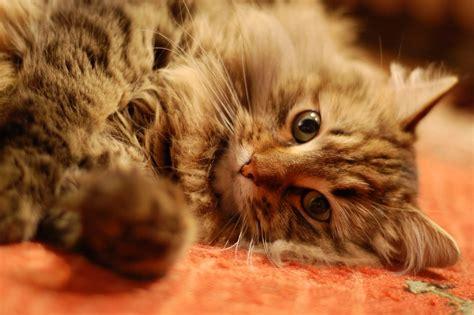 imagenes sarcasticas de gatos galer 237 a de im 225 genes de gatos siberianos gatos siberianos