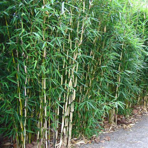 Bambus Fargesia Robusta 590 by Bambus Fargesia Robusta Bambus Pflanzenshop Fargesia