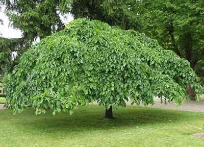 Bonsai Baum Garten 435 by вяз плакучий шершавый кампердовнии Cerdownii