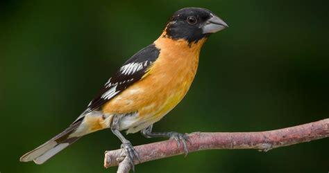 black headed grosbeak overview all about birds cornell