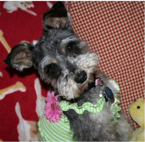 miniature schnauzer puppies for sale in tn miniature schnauzer breeders puppies for sale in knoxville autos post