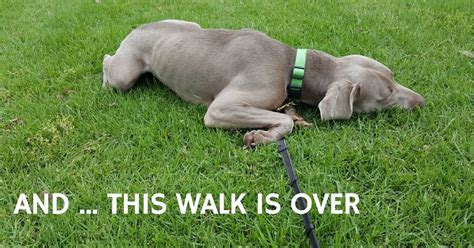 puppy refuses to walk refuses to walk what to do that mutt a
