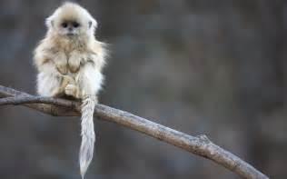 snub nosed monkey baby wallpaper 2560x1600 2127